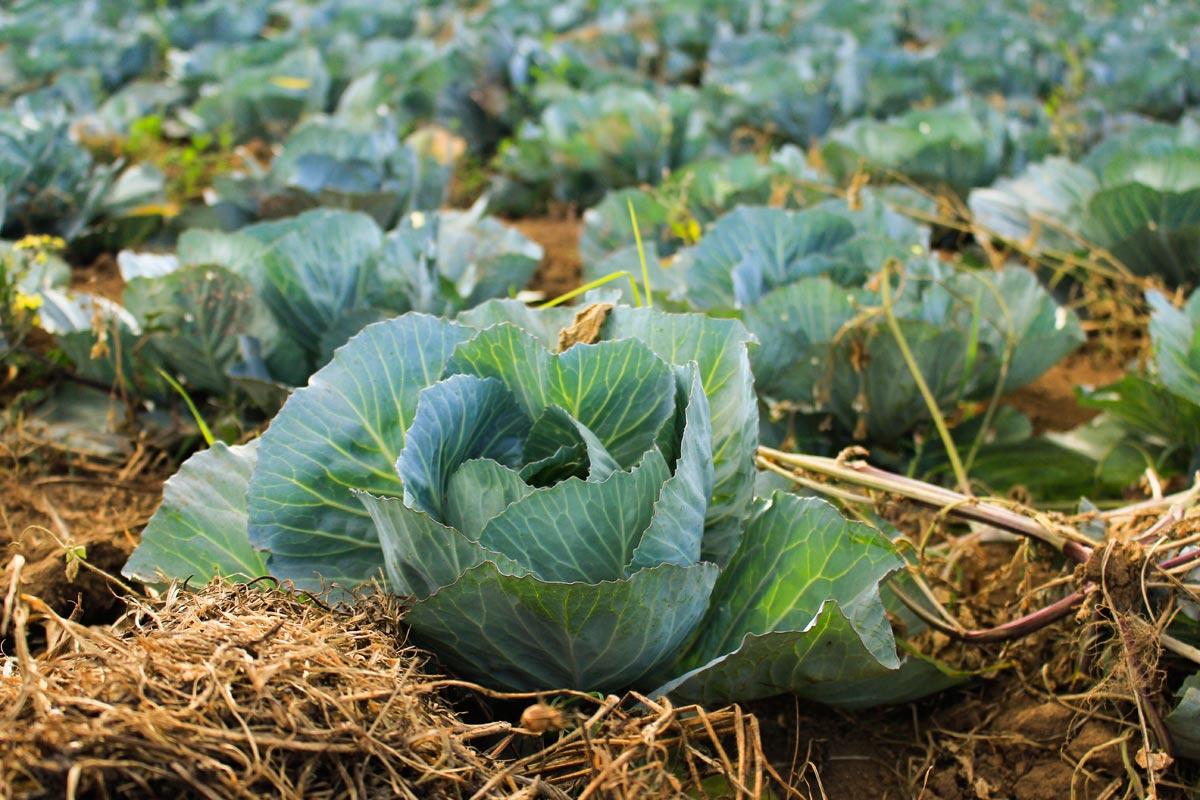 Gemüse Anbau auf Mallorca