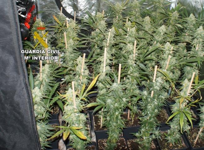 Marihuana-Plantage auf Mallorca