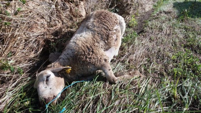 Totes Schaf im Natura Parc